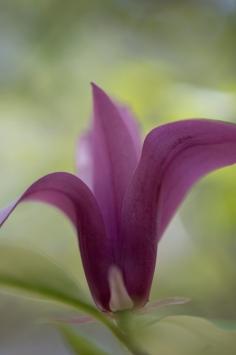 cHummingbird Flower